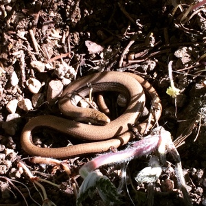 This slow worm had a rude awakening.