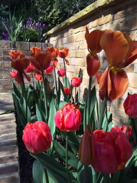 The wind has loosened some of the tallest tulips' petals but they're still looking gorgeous.