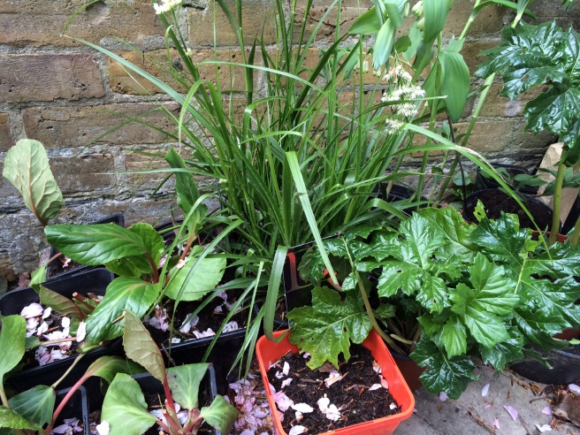 From left – Bergenias, Luzula nivea, Acanthus spinosa and Solomon's seal.