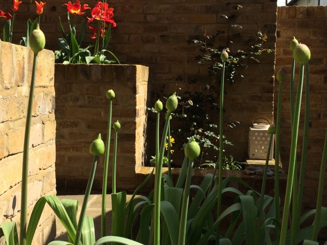 Big fat allium buds – some are just starting to burst.