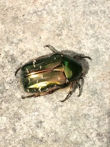 A beautiful Rose Chafer beetle found on the compost yesterday.
