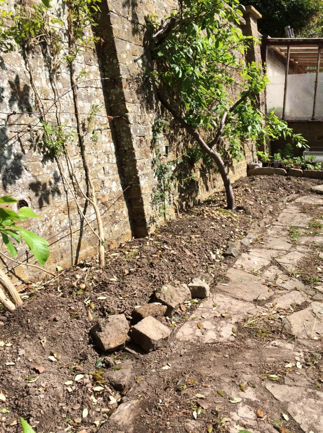 We spent the weekend clearing this border by the back garden wall. There's a plum and greengage (both requiring attention) and a Campsis radicans (trumpet vine) which we've cut back to encourage it to flower lower down. We've lots of plants to go in here.