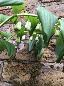 Polygonatum (Solomon's seal) – nodding stems bearing scented white flowers.