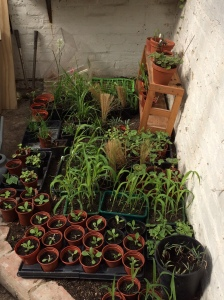 Plants waiting to be moved to their new homes.