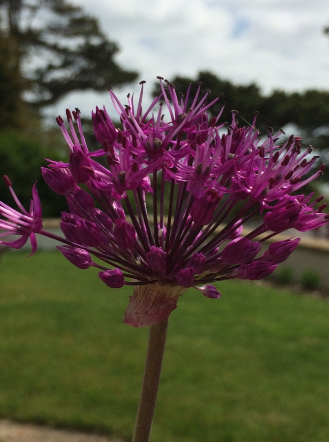 This one has burst. It's a lone allium in a pot at the front of the house. I don't know how it got there – I didn't plant it!