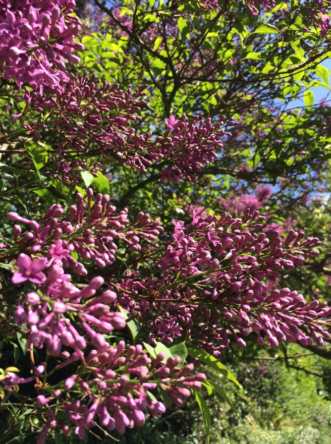 Lilac buds just coming in to flower and the smell is intoxicating.