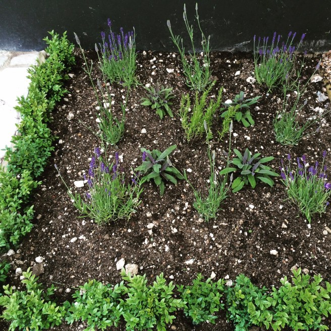 We prepared and planted up this little square with box, lavender, sage and hyssop. This small patch had been covered in building rubbish for months.
