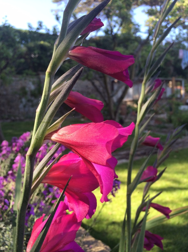 Gladioli – they appeared out of the blue from soil we brought in. Very pleasing.