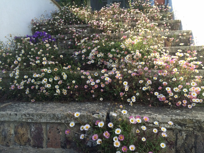 Erigeron on the steps.