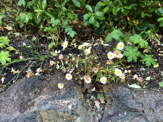 I hope the erigeron will take here as well as it has on the front steps.