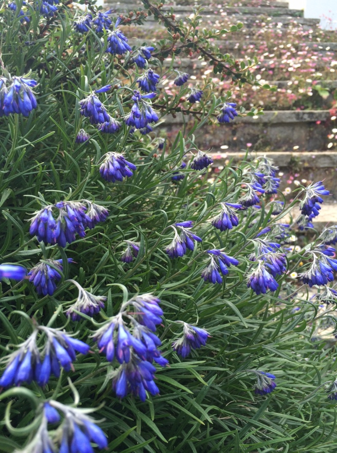 This really pretty plant is growing out of a wall – it's quite woody with lavender/rosemary-type leaves and the most gorgeous blue flowers. I've looked for it in our books but haven't found what it is. Does anyone know?