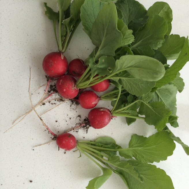 Our first radishes harvested yesterday. They were delicious (more so because I sowed the seed, tended them and watched them grow).