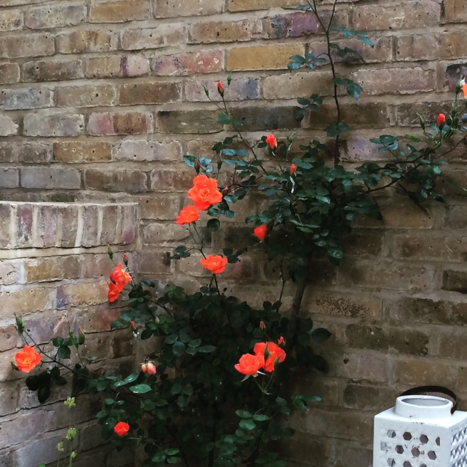 The flowers on the renovated climbing rose look zingy against the new wall.
