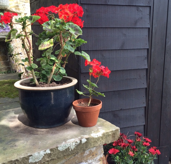 The red geraniums really stand out against the black.