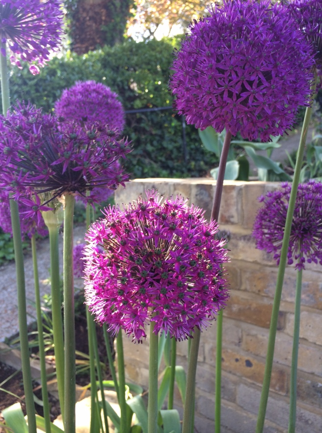 Yet another photo of alliums. They are looking so spectacular at the moment that I had to show you (again)!