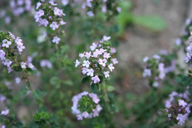Thyme flowers.