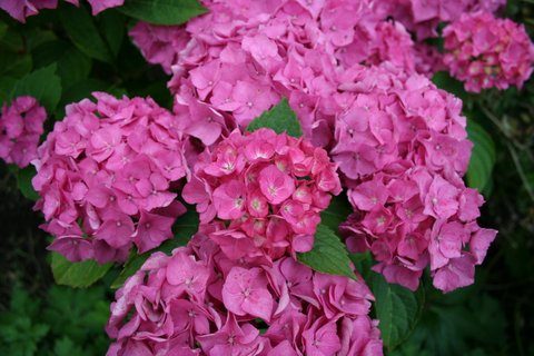 A blooming hydrangea making a bold statement – love or hate (I am ambivalent) these blowsy plants, they do have impact.