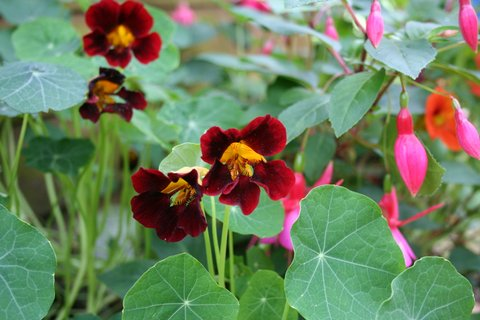 I do like nasturtiums. They're very easy to grow, undemanding plants with beautiful, jewel-like coloured flowers and you can eat them. What's not to love!