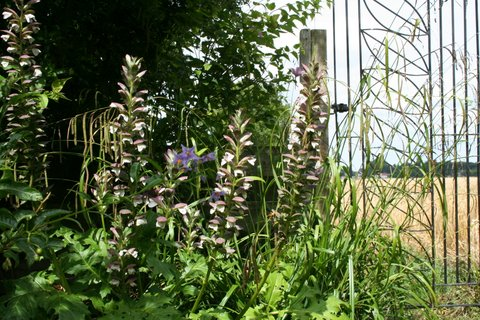 The end of the garden opens onto a field and is framed by a wrought-iron gate, grasses and Acanthus spinosus (bear's breeches).