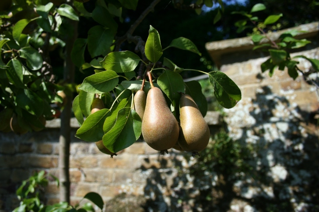 The pears, plums and apples have all done well this year and the branches are heavy with fruit.