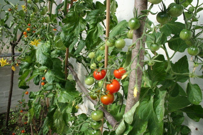 The greenhouse tomatoes – 'Sungold' and 'Gardener's Delight' – are prolific. We've had several bowl's full so far and there's a tomato tart in the oven as I write. I may make chutney.