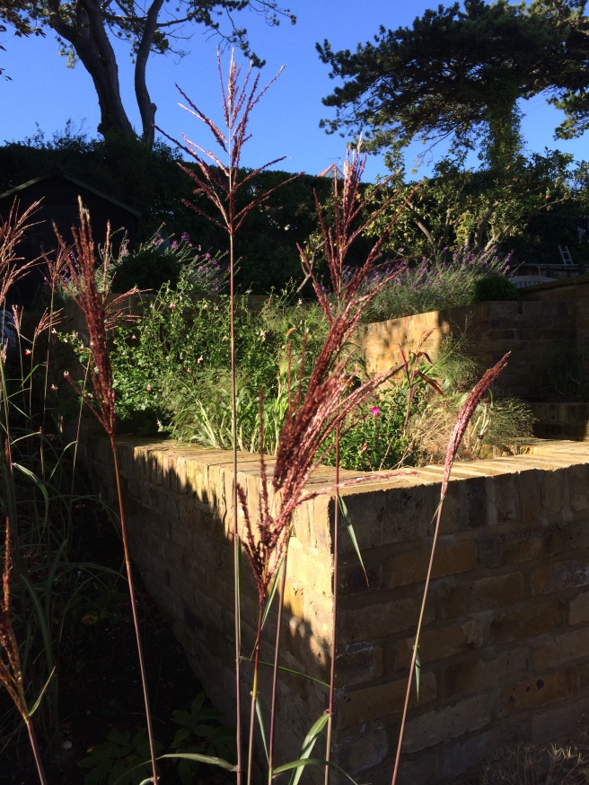 Miscanthus flowers. These plants are from a chunk chopped off a big clump of Miscanthus in our previous garden.