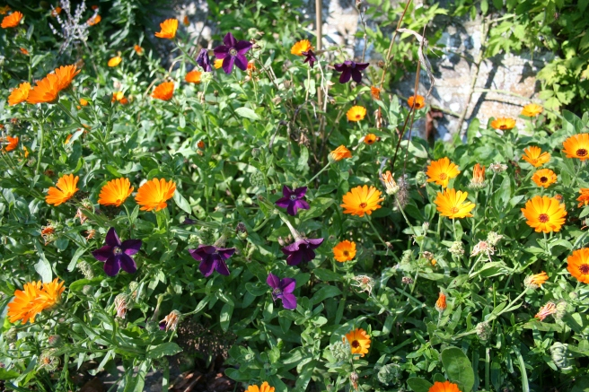 The self-sown marigolds are looking jewel-like with the dark purple nicotiana.