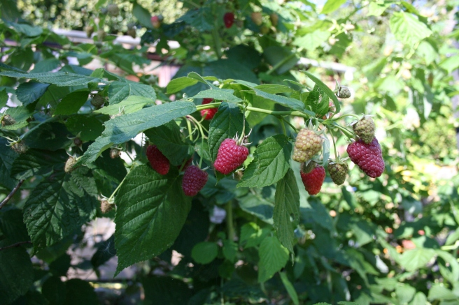 Our autumn raspberries are laden with fruit. 'Joan-J' is the stand-out variety with large, well-formed delicious fruit. The 'Autumn Bliss' canes, while just as prolific, have smaller, less tasty fruit.