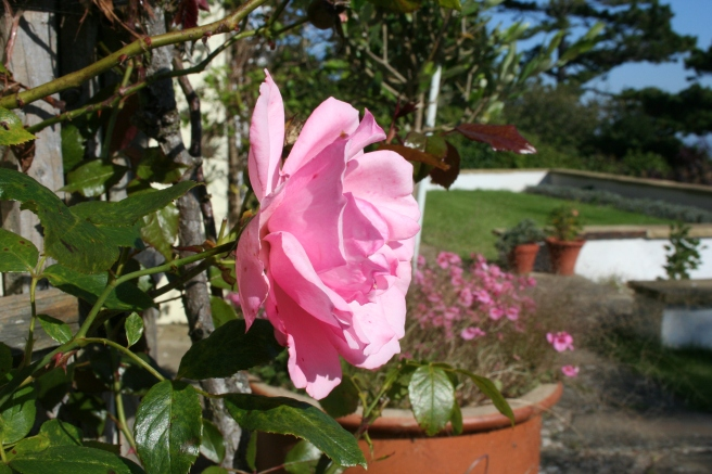The climbing rose (unknown variety) at the front of the house has been flowering since May.