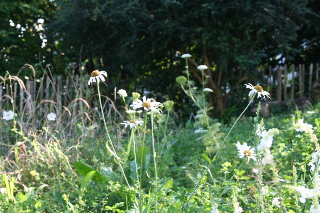 The wilderness at the bottom of the front garden. We sowed chalk grassland wildflower seeds here in May but there are too many weeds that have out-competed the wild flowers. Some, such as the ox-eye daisies, have come up though. It's a tricky area and we need to rethink it.