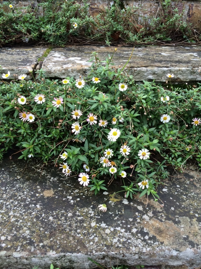 The Erigeron is still flowering on the front steps - continuous flowering since April. It's such a hard-working, joyful plant.
