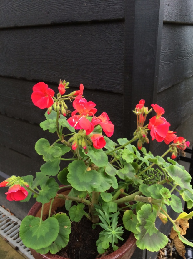 And, yes, the cheery geraniums are STILL flowering. This time last year, we'd moved them all into the greenhouse for the winter.