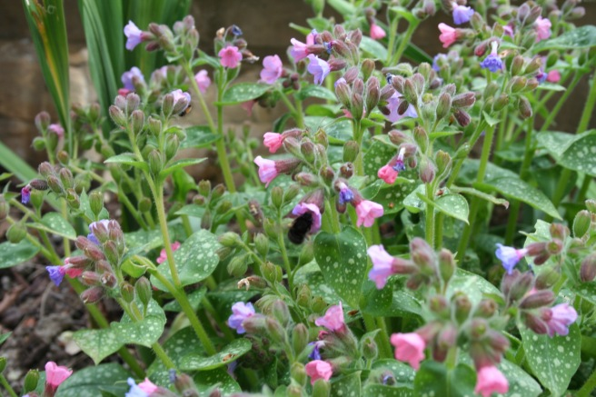 Likewise, the pulmonaria, which has been flowering for months now. It's constantly buzzing with bees, so whatever you think of it, it earns a place in my garden for being such a good plant for pollinators. I tried to photograph a bee but they were too busy buzzing about.