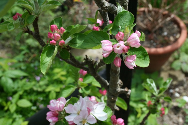 Our apple blossom is coming out. I do love how the tight buds are deep pink and the petals white, blushed with pink.