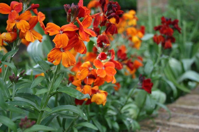 These fiery wallflowers were looking rather sorry for themselves a few weeks back but have perked up with the warmer weather and late spring rain.
