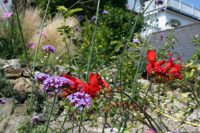 Verbena bonariensis and Crocosmia 'Lucifer'