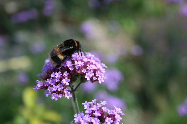 Verbena bonariensis and bee