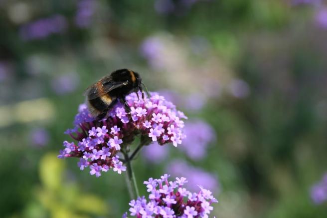 Verbena bonariensis and bee