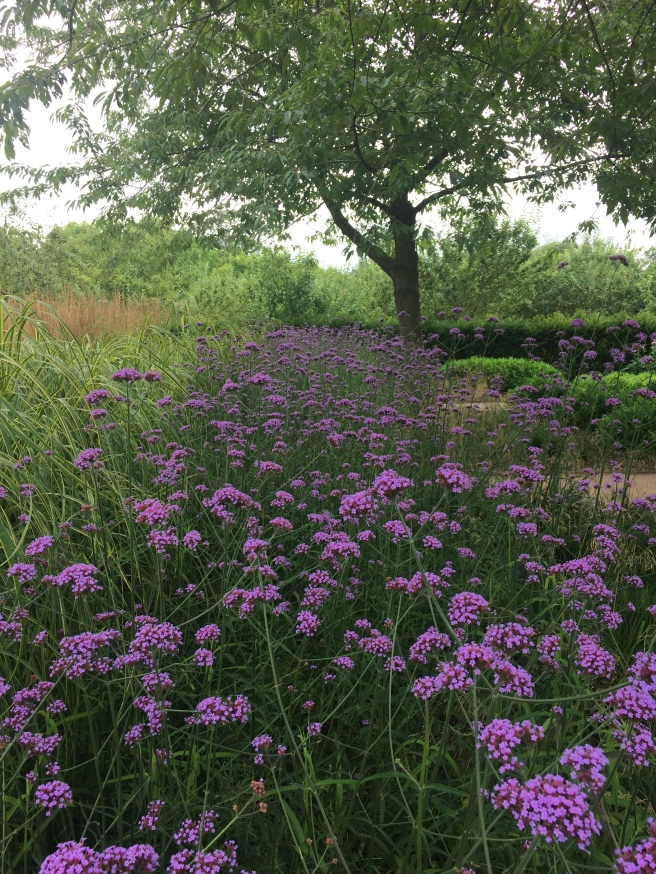 Verbena bonariensis at Wimpole Hall