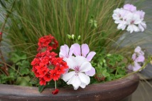 Verbena and geranium in pot