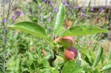 Apples ripening already