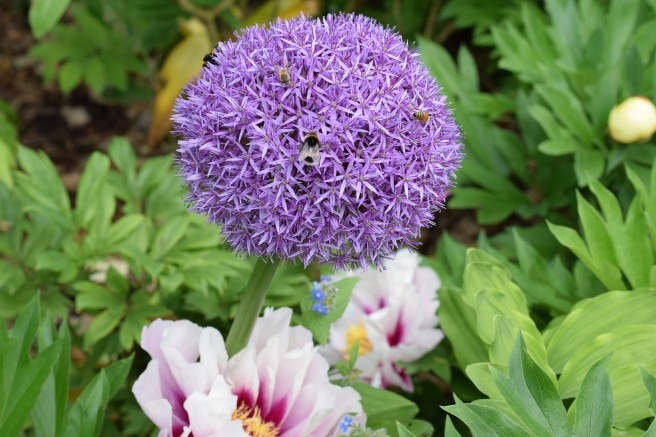 Allium and peony