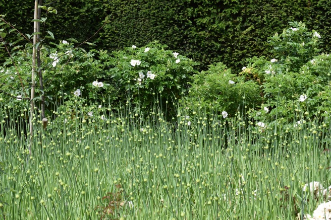 Tall alliums against roses and hedge
