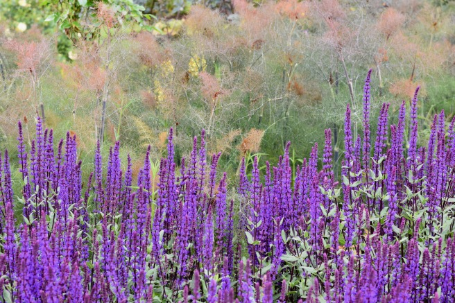 Salvia and bronze fennel