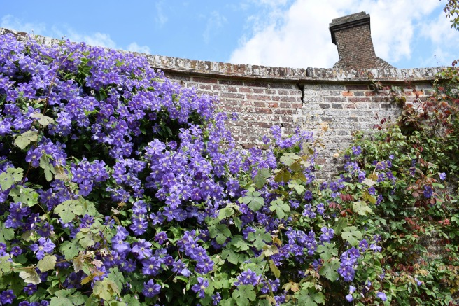 Blue clematis on brick wall